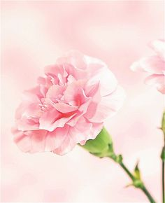 The Royal Wedding bouquet: Brides in bloom Pink Carnations, Pink Tulips, Pink Flowers, Flower Cart, My Flower, Cherry Blossom Tree, Flower Quotes, Beautiful Gardens, Hibiscus
