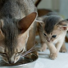 Abyssinian Mother Cat And Kitten - Click for More...