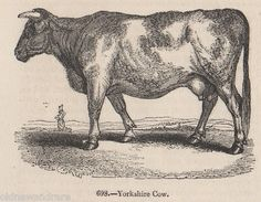 Yorkshire cow