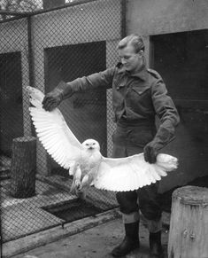 17th January 1950:  A keeper showing the wingspan of a snowy owl which was presented to London Zoo by the captain of the steamer 'Eros'.  The captain adopted the bird as a pet after it flew on board the ship in the Arctic, but soon noticed minor accidents occurring. By the time the steamer reached London the bird had been branded a Jonah.