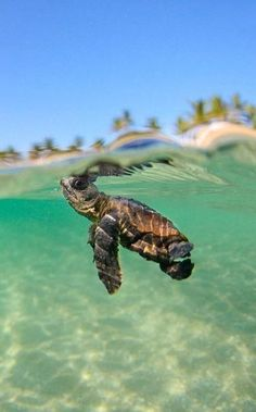 cute baby turtle finally in the sea, after possibly the most harrowing journey any creature will make <3