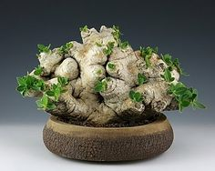 Pachypodium Brevicaule  from Pots and Plants by Kitoi