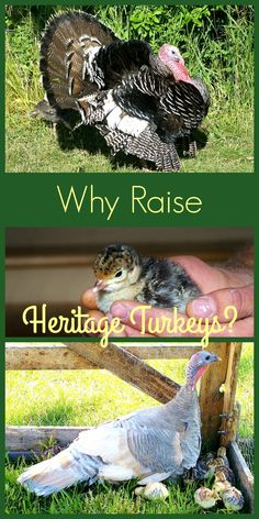 Why Raise Heritage Turkeys?