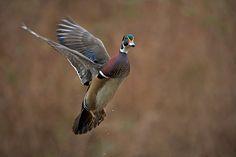 Wood Duck in Flight | Sean Crane Photography Blog