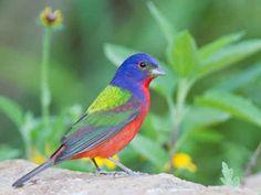 Azulillo pintado o colorín sietecolores | 22 animales de colores muy vivos que se ven demasiado hermosos como para ser reales