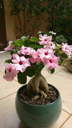 Tropical Garden, Tropical Flowers, Tropical Plants, Bonsai Plants, Cactus Plants, Garden Plants, Desert Rose Plant, Desert Plants, Pretty Flowers