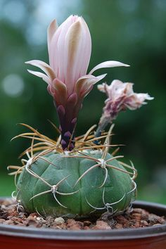 Gymnocalycium sp | Flickr – Compartilhamento de fotos!
