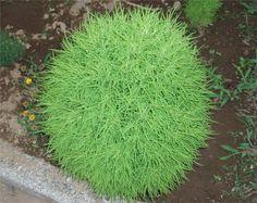 Немногие из дачников знают, что собой представляет кохия.   Фото же веничного растения известно почти всем. Веселый и пушистый ершик должен быть на каждом загородном участке, ведь он дает просто огро…