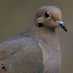 Love them or hate them, Mourning Doves are probably one of the most common and most abundant birds that you will see in your backyard. This dove is the most Kinds Of Birds, All Birds, Bird Facts, Dove Pigeon, Mourning Dove, Dove Bird, Colorful Birds, Beautiful Butterflies, Bird Watching