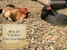 If your chicken flops down onto the ground writhing, don't panic, it's probably taking a dust bath.