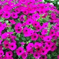 Petunia Retombant Surfinia Purple Petunia Surfinia, Plantation, Tropical, Purple, Plants, Beautiful, Gardens, Annual Plants, Fall Back