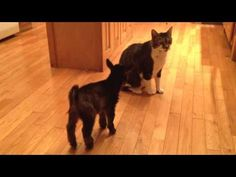 Baby Goat Tries to Headbutt Cat - YouTube