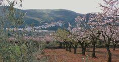 Almendros en flor y al fondo Vilafamés en la provincia de Castellón.