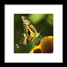 Swallowtail Butterfly Square Framed Print By Christina Rollo