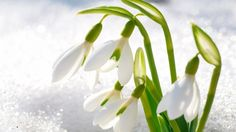Icy Snowdrops - flowers, white, blooms, snow, winter, ice, icy, spring, blossoms