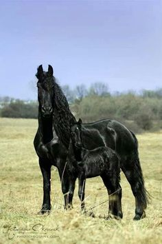 Friesians ~ Mare With Her Foal.