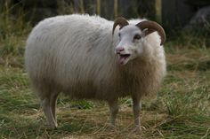 History of the Icelandic sheep