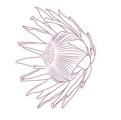 Protea Tattoo Concept by Michelle Lauren van den Berg, via Behance. Protea Art, Protea Flower, Line Drawing, Drawing Sketches, Art Drawings, Sketching, Dot Painting, Fabric Painting, Painting Flowers