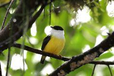 https://flic.kr/p/22ps7kt | White-collared Manakin / Manakin à col blanche | Sarapiqui, Costa Rica