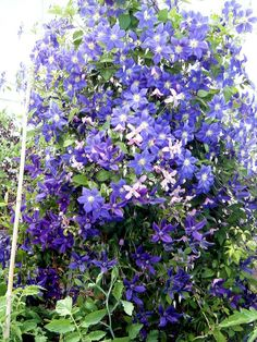 Clematis rebecca is the deep red gardening backyard - How to plant a flower garden for dummies ...