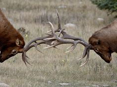 Two Bull Elk (Cervus Canadensis) Fighting, Jasper National Park, Alberta, Canada, North America