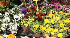10 συμβουλές για να φυτέψεις πανσέ! Gardening, Flowers, Plants, Ideas, Lawn And Garden, Plant, Royal Icing Flowers, Thoughts, Flower