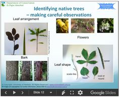 In this recorded professional learning session, Lyn Rogers from the Science Learning Hub and Ben Moorhouse from the Department of Conservation introduce some readily available resources and model activities about New Zealand's native trees. Leaf Shapes, Conservation, The Fosters, Nativity, Flora, Trees, Science, Activities, Learning