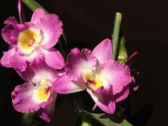 Размножение орхидеи дендробиум черенками. Результатом довольна! Все о цветах , рассаде, урожае и способах выращивания орхидей.Здесь я делюсь своим опытом в в...