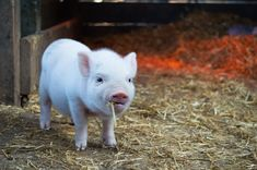 cute pet pigs names Cute Baby Animals, Farm Animals, Pigs Eating, Pig Art, Factory Farming, Cute Piggies, Pet Pigs, Year Of The Pig, Animal Rights