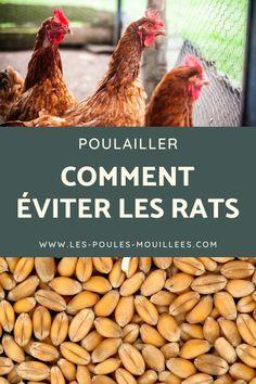 Rats, Autumn Garden, Infestation, Place, Animals, Garden, Hens, Chicken Waterer, Chicken Garden
