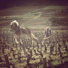 Many vineyards employ traditional methods, and watching a the horses plough the fields is an incredible experience.