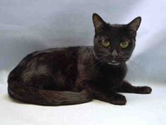 NINJA - A1110595 - - Manhattan  ***TO BE DESTROYED 05/06/17**SENIOR PANTHER WITH GREAT BEHAVIOR RATING& EXCELLENT PROGNOSIS FROM KITTY COLD… NEEDS LOVING RETIREMENT HOME -  Click for info & Current Status: http://nyccats.urgentpodr.org/ninja-a1110595/