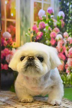 Grooming white Pekingese dog #White #peke #Pekingese #Pekinese #haircut