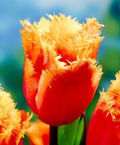 Tulipán 'Lambada'