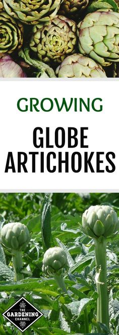 Learn how to grow globe artichokes in your home garden. Globe artichokes are low in calories and sodium and high in vitamin C, folic acid, and magnesium.