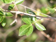 Sand corkwood (Commiphora angolensis) ?