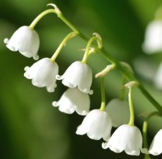 Lily of the Valley Fragrant Oil