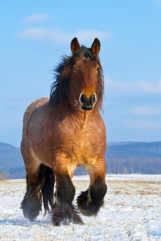 .Ardennes horse,