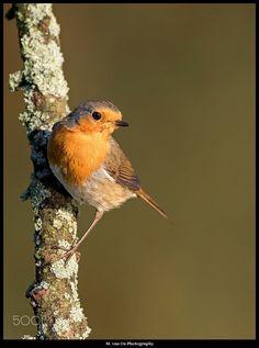 European Robin / Roodborst - European Robin / Roodborst