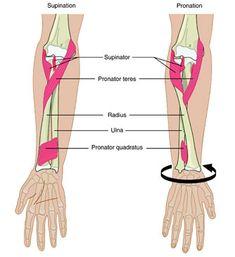 Upper Limb Anatomy, Anatomy Study, Forearm Muscle Anatomy, Forearm Muscles, Muscular System Anatomy, Gross Anatomy, Medical Anatomy, Human Anatomy And Physiology, Medical Science