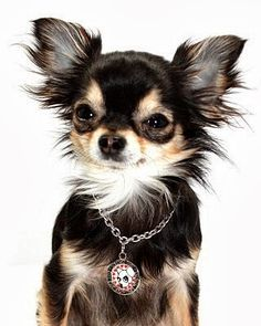 How to Groom a Chihuahua? Click to read