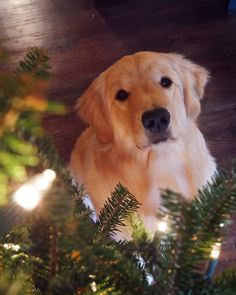 Bailey helping to decorate the tree