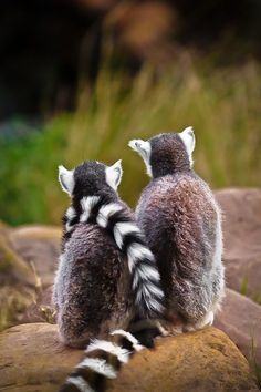 A day in the life of some Ring-tailed Lemurs.....