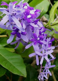Petrea volubilis (Queen's Wreath)  I am planning on a blue flower garden this year.  I think this will work nice into it.