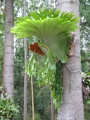 Panoramio - Photo of Staghorn Fern