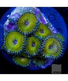 "Palythoa sp. - DR. Nuclear Death Paly -1.5"" WYSIWYG Frag - CORAL"