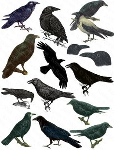 Crows Ravens:  A collage of various black birds.