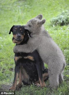 Now this is a bear hug! Medo, a three and a half month old bear cub, plays with the family dog in Podvrh village, central Slovenia. A Slovenian family adopted the bear cub when it strolled into their yard