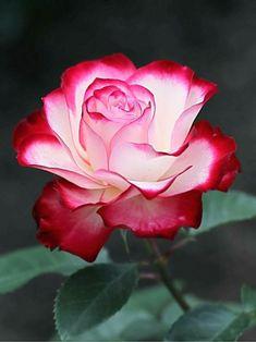 Unique Roses, Beautiful Flowers Wallpapers, Beautiful Rose Flowers, Love Rose, Amazing Flowers, Pretty Flowers, Tea Roses, Pink Roses, Rose Bush