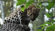 """""""Two Amur leopard cubs were spotted on a wildlife camera in China, the first evidence that this critically endangered big cat is breeding in the region, the Wildlife Conservation Society announced today (Nov. 26). Amur leopards are the world's most endangered big cats, with between 30 and 50 individuals still roaming in the wild."""" via Tia Ghose/Live Science. Photo by smerikal/flickr"""